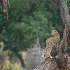Cheetah<br /> RJB Tanzania, Africa Tours<br /> Nikon D800 ,Nikkor 200-400mm f/4G ED-IF AF-S VR<br /> 1/200s f/4.0 at 400.0mm iso400