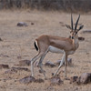 """Indian gazelle<br /> Raymond's Wild Tiger Photography Tours<br /> <br /> Wonderful wildlife in India!<br /> My next tour - Nov 30 - Dec 9th, 2016<br /> Join me to see the Tigers!<br /> <br />  <a href=""""http://www.raymondbarlow.com"""">http://www.raymondbarlow.com</a><br /> Nikon D810 ,Nikkor 200-400mm f/4G ED-IF AF-S VR<br /> 1/320s f/6.3 at 350.0mm iso400<br /> <br /> <br /> #india #wildlifephotography #photography #workshop #raymondbarlow"""