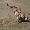 Cheetahs at Play Series 12 Shots  - Image 11-12