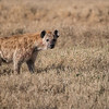 Spotted Hyena<br /> RJB Tanzania, Africa Tours<br /> <br /> ray@raymondbarlow.com<br /> 1/2000s f/4.0 at 330.0mm iso200