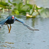 Purple Gallinule in Flight<br /> Orlando, Florida<br /> <br /> So many opportunity's this trip to catch action shots of these beautiful birds... I could shoot this place every day for a week, and still want more!<br /> They run on the water, and fly from patch to patch of the lily pads., so I just sit back and be ready! No feeding ... just patience.<br /> <br /> ray@raymondbarlow.com<br /> Nikon D850 ,Nikkor 200-400mm f/4G ED-IF AF-S VR<br /> 1/4000s f/6.3 at 340.0mm iso2000