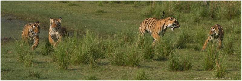 """#tiger #family #india<br /> <br /> Limited Edition Print - Tiger Family on the Move! <br /> Sized -66"""" wide x 22"""" high!<br /> <br /> I hope your interested, only 20 copies on the first run.  Would you like the first copy?<br /> <br /> Thanks to my friend John from Colorado for this suggestion, extra large print, and 4 tigers tack sharp!<br /> <br /> Selling price - $750.00 USD for the first print run of 20 copies.<br /> <br /> Thanks for looking!<br /> <br /> Royal Bengal Tiger Family, Ranthambore NP, India.<br /> <br /> Thanks to all my friends here on G+  .. just turned 92 million views!  47 million in the last 2 months! Amazing!<br /> <br /> Thanks so much for the nice comments and so many shares.<br /> <br /> Best wishes from Canada.<br /> <br /> Raymond"""