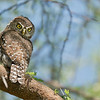 "Once in a while, a great chance for a shot comes along!<br /> <br /> This tiny Pearl spotted owl turned up during our drive, spotted by our awesome safari driver in Tanzania. perched up in a tree, this tiny bird was hunting insects and small rodents.   <br /> <br /> Bright sunny days were common during our tour, so we would say this was difficult lighting. I will say the dynamic range with these Sony sensors is more then adequate.  Nice details and accurate colours are expected with all the proper settings and conditions.<br /> <br /> Another tour is now being planned for the near future... the ""big cats"" have a quite a few young, so we are looking for 3 guests only for a ""fly into the Serengeti"" in late March. <br /> If you might be interested, please contact me - ray@raymondbarlow.com<br /> <br /> Love real nature in Africa."