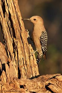 Gila Woodpecker female