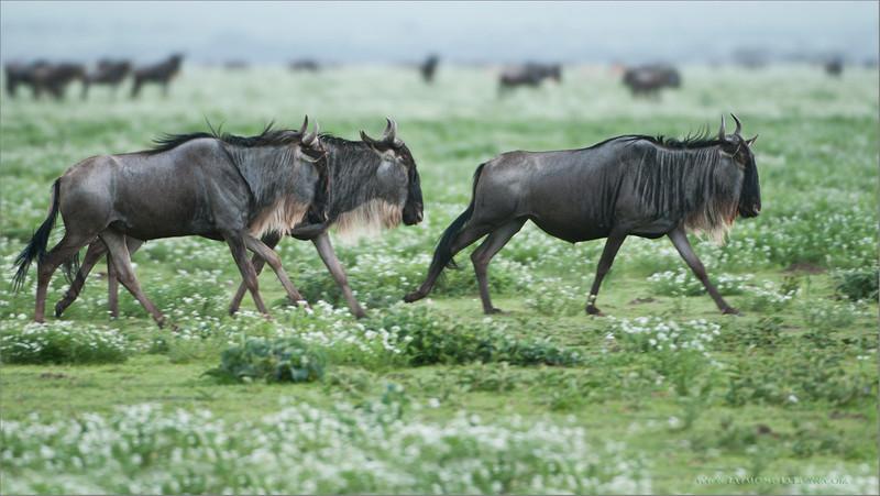 Wildebeest Migration in the Serengetti