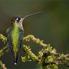Magnificent Hummingbird<br /> RJB Colours of Costa Rica Tour<br /> <br /> ray@raymondbarlow.com<br /> 1/500s f/4.0 at 400.0mm iso1000