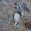 "A hawk owl will usually save the kill, stuffing it into a protected area like a thorny bush, or an old tree cavity created by woodpeckers.  The meal will stay cold and probably frozen for a later date when the bird is hungry and hunting is not going so well.<br /> <br /> We watched the owl find this old cache and move it to a new storage location, about 60 yards from the original stash.  It almost looks like he is try to make positive sure the dove is quite dead!<br /> <br /> Love real nature.<br /> <br /> Moderate crop at 8,000 iso, and a very easy edit.  Unfortunate with the birds beak cutting across the eye of the bird, but still happy to enjoy the experience.<br /> <br /> Northern Hawk Owl with a Mourning dove<br /> Ontario, Canada<br /> <br />  <a href=""http://www.raymondbarlow.com"">http://www.raymondbarlow.com</a><br /> Sony Alpha α9 ,Sony 100-400GM<br /> 1/800s f/5.6 at 385.0mm iso8000"