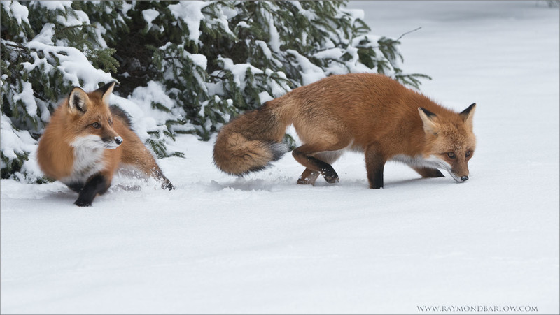 Two Foxes Hunting <br /> Photography Tours and Workshops.