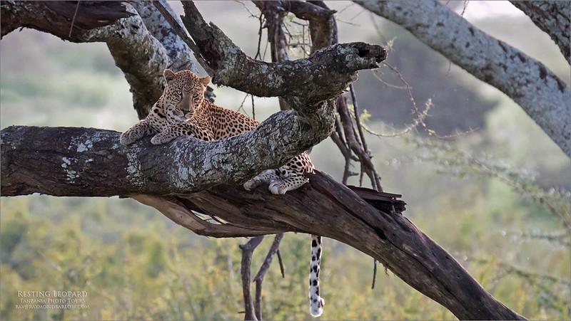 A9_07838 Resting Leopard 2 1200 web