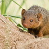 A special and rare sighting!<br /> <br /> The common Dwarf Mongoose is elusive, after many tours to TZ; I have only had a good look on 2 occasions in the past.  <br /> <br /> They are so cute and tiny!  On this drive during our second day, we found a few members of this species browsing a termite mound for snacks.<br /> <br /> We had 3 little ones, in and out of the venting holes of the mound, they were shay and curious!  We all kept quiet, and clicked away when the chances were there, and realizing how difficult it is to get a sharp image in such close range.<br /> <br /> Hope to see them again soon!<br /> <br /> Thanks for looking!