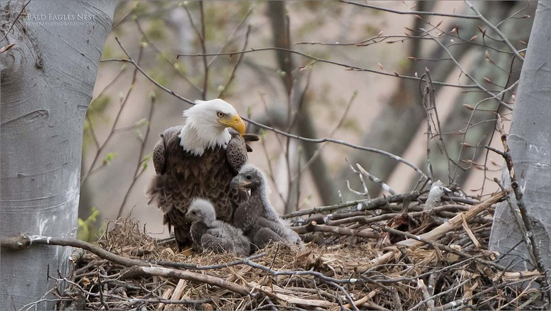 A long trip south to a valley with a nest.<br /> <br /> The young eaglets are an excellent size to photograph with adult parents tending to their needs.  An amazing and spectacular scene to watch, observe, and photograph.<br /> <br /> Using the 200-400 mm on a full frame D850 body, a very nice combination to work with.  The pixel depth of the D850 really helps with the reach.<br /> <br /> I would say with the extensive crop on this image, the equivalent lens reach would be about 800 mm.  Decent quality, still able to print very large if needed.<br /> <br /> What a brilliant opportunity, thanks a good friend for the help in locating this nest.<br /> <br /> We go back here on Tuesday April  13th, 2019<br /> <br /> Bald Eagles Nest<br /> Raymond Barlow USA - Wildlife and Nature<br /> <br /> ray@raymondbarlow.com<br /> Nikon D850 ,Nikkor 200-400mm f/4G ED-IF AF-S VR<br /> 1/1000s f/4.0 at 400.0mm iso1000