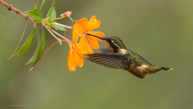 """Pretty Female on a Flower<br /> <br /> Thanks to everyone for so many views, likes, comment, and shares this past few months!<br /> <br /> So much appreciated. <br /> <br /> Image taken on a recent tour to Ecuador, we really had so much fun with so many hummingbirds!  One of my favourite things to do in life is create images of these incredible birds.<br /> <br /> Best wishes, thanks again!<br /> <br /> Please enjoy and respect nature!<br /> <br /> <br /> <br /> Woodstar Hummingbird<br /> RJB Ecuador Tours<br />  <a href=""""http://www.raymondbarlow.com"""">http://www.raymondbarlow.com</a><br /> 1/1600s f/7.1 at 400.0mm iso2500"""