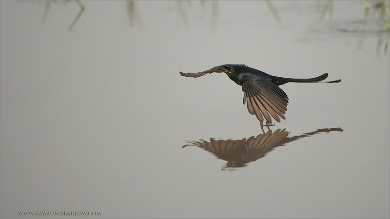 "Indian Drongo<br /> RJD India Photo Tours<br /> <br />  <a href=""http://www.raymondbarlow.com"">http://www.raymondbarlow.com</a><br /> 1/3200s f/4.0 at 400.0mm iso1000"