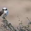 Northern white-crowned shrike<br /> Raymond Barlow Photo Tours to Tanzania Wildlife and Nature<br /> <br /> Prints - ray@raymondbarlow.com<br /> Nikon D810 ,Nikkor 200-400mm f/4G ED-IF AF-S VR<br /> 1/500s f/6.3 at 200.0mm iso400