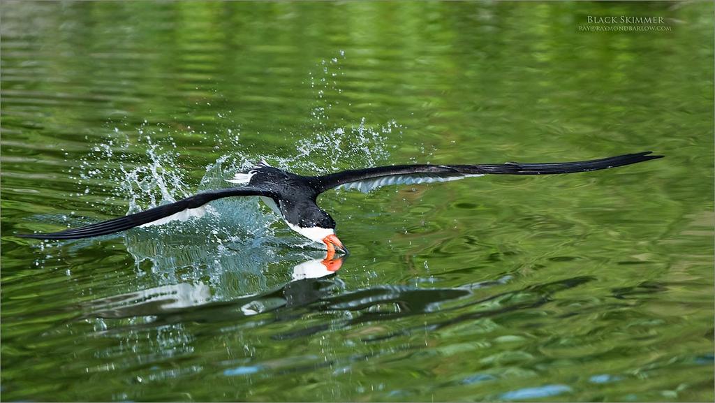 Black skimmer - Skimming<br /> Long Island - NY<br /> <br /> ray@raymondbarlow.com<br /> Nikon D850 ,Nikkor 200-400mm f/4G ED-IF AF-S VR<br /> 1/3200s f/5.6 at 380.0mm iso1000