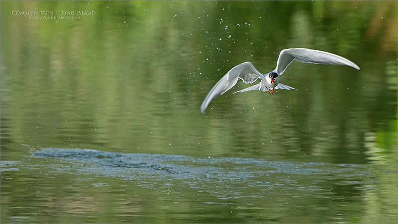 This pond is one of my favorite places on earth!!<br /> <br /> real nature, real colors, 100% natural.<br /> <br /> Common Tern in for a Drink<br /> Long Island - NY<br /> <br /> ray@raymondbarlow.com<br /> Nikon D850 ,Nikkor 200-400mm f/4G ED-IF AF-S VR<br /> 1/2000s f/5.6 at 400.0mm iso1000