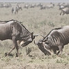 A battle of strength!<br /> <br /> Two male wildebeests demonstrate their strength to encourage females to notice qualities of dominance and superiority.  They have short battles, and usually without bloodshed.  For us photographers, the action is superb!<br /> <br /> A washed out effect with this shot as the dust was up, the wind gusting, and the savanna so very dry.  Not great for the cameras, but this weather and environment did make for some effective moods through the last few days of the tour.<br /> <br /> Later in the month, the zebras get feisty, and do battle.  We missed that experience for this trip, maybe the next one!<br /> <br /> raymond<br /> <br /> <br /> ray@raymondbarlow.com<br /> Nikon D850 ,Nikkor 200-400mm f/4G ED-IF AF-S VR<br /> 1/2500s f/5.0 at 200.0mm iso500