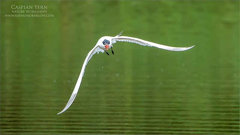 A few seconds after a dive, this tern flew straight at me!<br /> <br /> Caspian tern flying head on!  <br /> <br /> It was kind of cool that the feathers are not fully grown in on its head, so we can see the eyes looking forward.<br /> <br /> Superb background colours and smooth background with this lens, considering it is a zoom.  Too bad there was no catch this time!<br /> <br /> Always fun trying, but the heat soon became too much for us, and we left around 10:30 am to find some air conditioning.<br /> <br /> We will hopefully have a break in the weather soon!<br /> <br /> Thanks for looking!