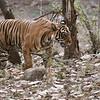 "Royal Bengal Tiger - Noor T39<br /> RJB India Photo Tours<br /> <br />  <a href=""http://www.raymondbarlow.com"">http://www.raymondbarlow.com</a><br /> 1/80s f/4.0 at 200.0mm iso500"