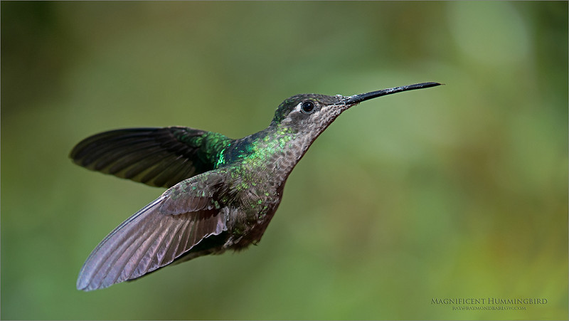 Magnificent Hummingbird in Flight<br /> Costa Rica<br /> <br /> ray@raymondbarlow.com<br /> Nikon D800 ,Nikkor 200-400mm f/4G ED-IF AF-S VR<br /> 1/2500s f/4.0 at 310.0mm iso500