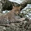 Leopard in Tanzania