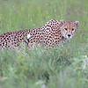 "Cheetah preparing to hunt!<br /> <br /> I have a Big Cat Hunting tour lined up, with special discounts!<br /> <br /> Join me, and we will stay here!<br /> <br /> <a href=""https://nasikiacamps.com/gallery/naona-moru-camp/"">https://nasikiacamps.com/gallery/naona-moru-camp/</a><br /> <br /> I promise, this place is just as nice as it looks!<br /> <br /> Fees include the works!  <br /> <br /> We allow only small groups of 3 guests only for this tour.  1 safari truck, and some brilliant photo opportunities of the cats and their hunting - off road permits included!<br /> <br /> Should be way past awesome!<br /> <br /> ray@raymondbarlow,com"