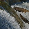 Two fish in Flight!<br /> Salmon Migration<br /> Southern Ontario,  2020<br /> A9 + 200-600OSS<br /> Jobu Gimbal head and Algonquin tripod