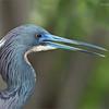 Tri-colored heron portrait - Florida Tours<br /> Raymond Barlow Photo Tours to USA - Wildlife and Nature<br /> <br /> ray@raymondbarlow.com<br /> Nikon D810 ,Nikkor 200-400mm f/4G ED-IF AF-S VR<br /> 1/320s f/5.6 at 400.0mm iso500