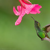 RJB_8843 Coppery Headed Hummingbird 1200 web