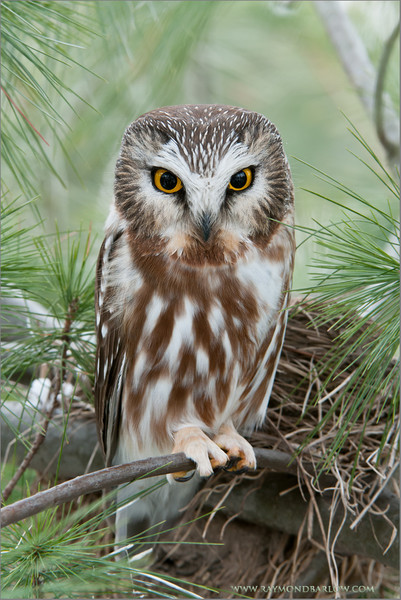 Saw-whet Owl<br /> ray@raymondbarlow.com<br /> RJB Wild Birds of Ontario Workshops<br /> Nikon D300 ,Nikkor 200-400mm f/4G ED-IF AF-S VR<br /> 1/13s f/8.0 at 200.0mm iso250