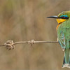 Little Bee-eater  (Swarovski Spotting Scope)