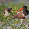 """Oystercatcher on the Beach<br /> RJB USA Tours<br /> <br /> Taken on a recent tour to NYC, we has a superb time shooting on the beach!<br />  <a href=""""http://www.raymondbarlow.com"""">http://www.raymondbarlow.com</a><br /> <br /> 1/500s f/4.0 at 400.0mm iso200"""