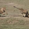 Cheetahs at Play Series 12 Shots  - Image 7-12