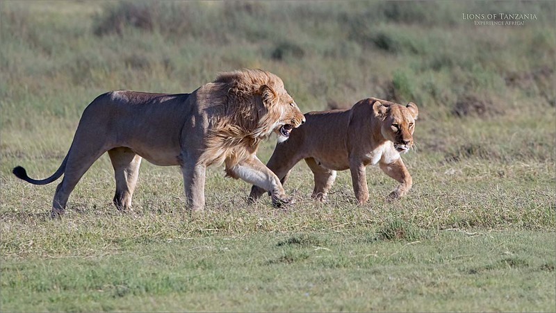 Male and female Lions<br /> Tanzania, Africa<br /> <br /> We spent at least an hour with these 2 and 2 more females, as their belly's were full, and the carcass remains were close by.  As they chased away the competition for food, and enjoyed the several mating  attempts, we were well entertained. <br /> <br /> Africa - Nest tour - February 2020<br /> Join Us?<br /> Nikon D850 ,Nikkor 200-400mm f/4G ED-IF AF-S VR<br /> 1/2000s f/5.6 at 360.0mm iso800