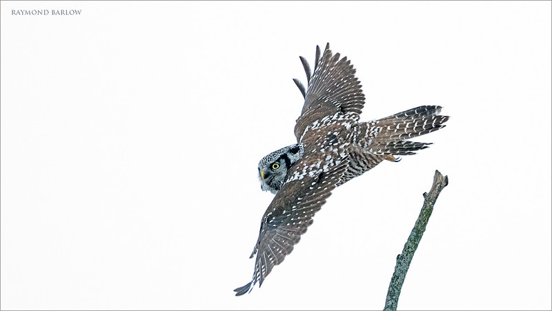 "Another interesting day with the Hawk Owl, unfortunately we didn't get a good angle for a background today, so blah white sky behind the bird.<br /> <br /> next time!<br /> <br /> Northern Hawk Owl Lift Off!<br /> Ontario, Canada<br /> <br />  <a href=""http://www.raymondbarlow.com"">http://www.raymondbarlow.com</a><br /> Sony Alpha A9,Sony 100-400GM<br /> 1/2000s f/5.6 at 400.0mm iso6400"