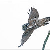 """Another interesting day with the Hawk Owl, unfortunately we didn't get a good angle for a background today, so blah white sky behind the bird.<br /> <br /> next time!<br /> <br /> Northern Hawk Owl Lift Off!<br /> Ontario, Canada<br /> <br />  <a href=""""http://www.raymondbarlow.com"""">http://www.raymondbarlow.com</a><br /> Sony Alpha A9,Sony 100-400GM<br /> 1/2000s f/5.6 at 400.0mm iso6400"""