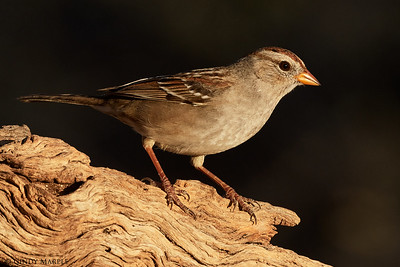 White-crowned Sparrow imm.