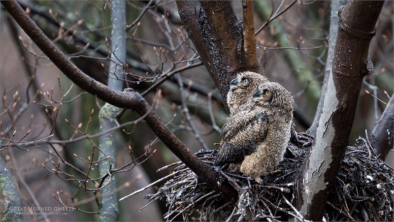 A cute pair of very soggy birds in the rain.<br /> <br /> Great Horned Owlets<br /> <br /> Way too much fun.  When I have the video ready, I will upload it to a new webpage on my this website.<br /> <br /> Take care out there.