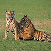 "Tiger Sisters in Play<br /> <br /> Raymond's India Tours<br /> <a href=""http://raymondbarlowworkshops.blogspot.ca/2014/06/raymond-barlows-bengal-tiger-tour.html"">http://raymondbarlowworkshops.blogspot.ca/2014/06/raymond-barlows-bengal-tiger-tour.html</a><br /> 1/2000s f/4.0 at 300.0mm iso1600<br /> <br /> Join me on tour and visit the tigers!<br /> ray@raymondbarlow.com"