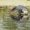 """Thanks to my guests who joined my scouting trip in Florida, great fun, and so much shooting!  Another trip soon!<br /> <br /> Tricolored heron Fishing<br /> Raymond Barlow Photo Tours to USA - Wildlife and Nature<br /> <br />  <a href=""""http://www.raymondbarlow.com"""">http://www.raymondbarlow.com</a><br /> Nikon D810 ,Nikkor 600 mm f/4 ED<br /> 1/800s f/8.0 at 600.0mm iso1000<br /> <br /> Thanks for looking!"""
