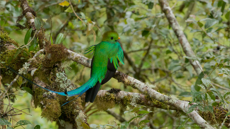"""""""Showing Off in the Breeze!""""<br /> <br /> The amazing Resplendent Quetzal is our prize """"catch"""" for photographers in Costa Rica.  With such a large bird (about 5 feet long) from head to tail tip, it is very difficult to find a good environment and have this bird co-operate.<br /> <br /> Once in a while, we are lucky!  This bird displayed for our guests for at least 10 minutes... and at least 500 images!  Very difficult to pick a favourite!   I did take a few seconds of video, link below if you are interested.  Set you view to 1080p.<br /> <br /> Thanks to all of my Costa Rica guests, we have had some amazing luck, and sweet opportunities.  A new tour in Ecuador for January!<br /> <br /> Raymond<br /> <br /> Resplendent Quetzal<br /> RJB Colours of Costa Rica Tour<br />  <a href=""""http://www.raymondbarlow.com"""">http://www.raymondbarlow.com</a><br /> 1/500s f/6.3 at 330.0mm iso1600<br /> <br /> video - <a href=""""http://youtu.be/-mlaLRxRnKE"""">http://youtu.be/-mlaLRxRnKE</a><br /> <br /> Hope this works!<br /> take care."""