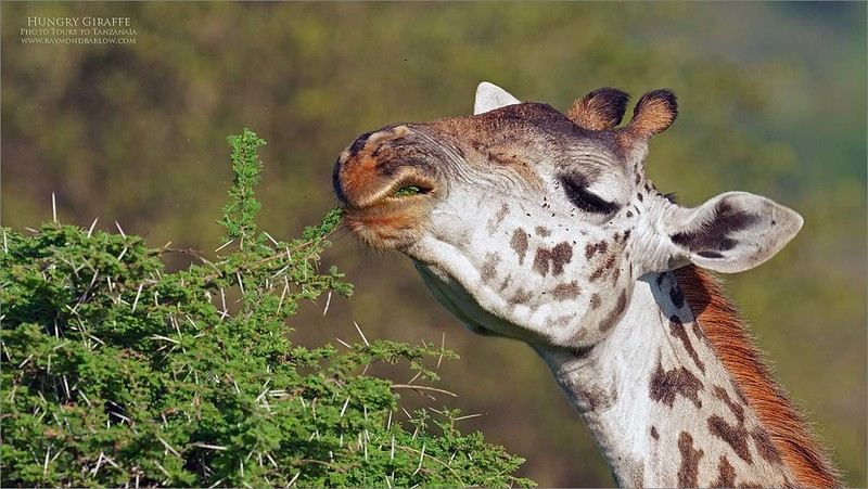 Tall and Hungry!<br /> <br /> Looks like a great salad!<br /> <br /> East African Giraffe, munching down on an Acacia tree.<br /> February 2020 tour.<br /> <br /> Thanks for looking!