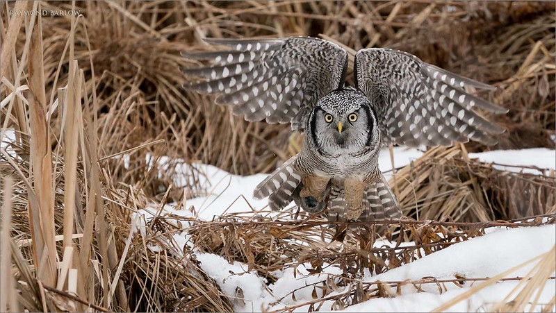 """This is the second flight shot of the series, more to come.<br /> <br /> Northern Hawk Owl with prey tucked away!<br /> Ontario, Canada<br /> <br />  <a href=""""http://www.raymondbarlow.com"""">http://www.raymondbarlow.com</a><br /> Sony Alpha α9 ,Sony 100-400GM<br /> 1/3200s f/5.6 at 400.0mm iso2000"""