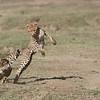 Cheetahs at Play Series 12 Shots  - Image 2-12