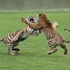 Tiger Sisters in a Fight<br /> Raymond's India Photo Tours<br /> <br /> ray@raymondbarlow.com<br /> Bengal Tiger Photo tours<br /> Nikon D800 ,Nikkor 200-400mm f/4G ED-IF AF-S VR<br /> 1/2500s f/4.0 at 210.0mm iso5000