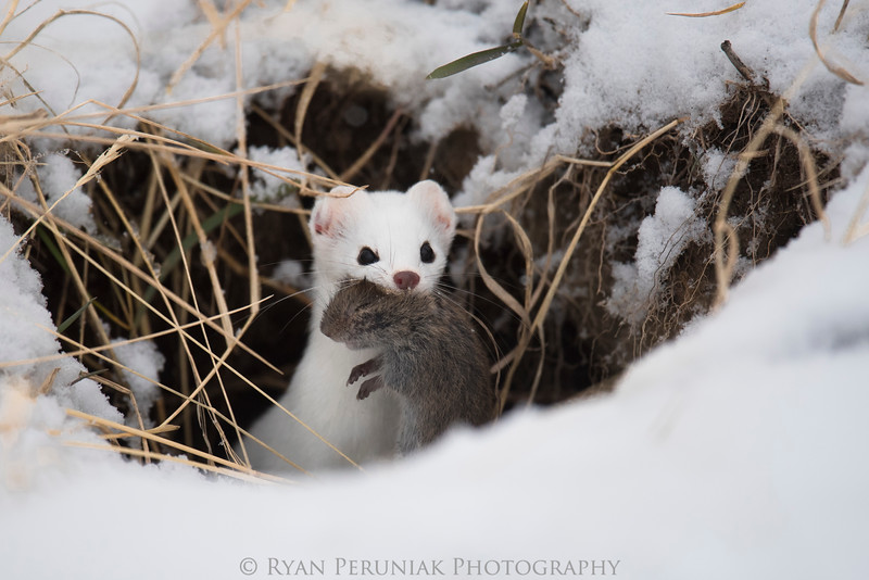 Short-tailed Weasel with meal