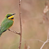 Little Bee-eater in Tanzania<br /> Raymond Barlow Tours to Tanzania Wildlife and Nature<br /> <br /> Real nature at its finest in Tanzania!<br /> Join my next tour?<br /> <br /> ray@raymondbarlow.com<br /> Nikon D800 ,Nikkor 200-400mm f/4G ED-IF AF-S VR<br /> 1/320s f/4.0 at 400.0mm iso320