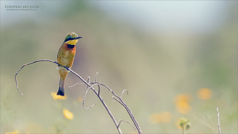 """European bee-eater <br /> <br /> Definitely not a good photo of this species, but this past trip to Tanzania gave my first chance to photograph these beauties.  Harsh light and backlit, I did the best I could.  <br /> <br /> <br /> This is such a superb and colourful bird, it was difficult to pass my images by, so I am hoping for another chance on the next tour!  I believe we found them in the """"Small Serengeti"""", which is an area inside the Tarangire National Park.  <br /> <br /> Thanks for looking<br /> <br /> Love Nature!"""