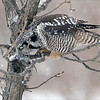 "In this 2 image set, the hawk owl struggles with it's cache, as the wet snow previously has frozen the food to the trunk of the tree.  it moved on to another meal in a small pine tree, but we were too far to see how successful this owl was with its second choice.<br /> <br /> Northern Hawk Owl with Lunch 1<br /> Ontario, Canada<br /> <br />  <a href=""http://www.raymondbarlow.com"">http://www.raymondbarlow.com</a><br /> Sony Alpha α7R IV ,Sony 100-400GM<br /> 1/800s f/5.6 at 318.0mm iso640"