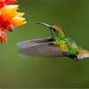 Coppery-headed Emerald in Flight